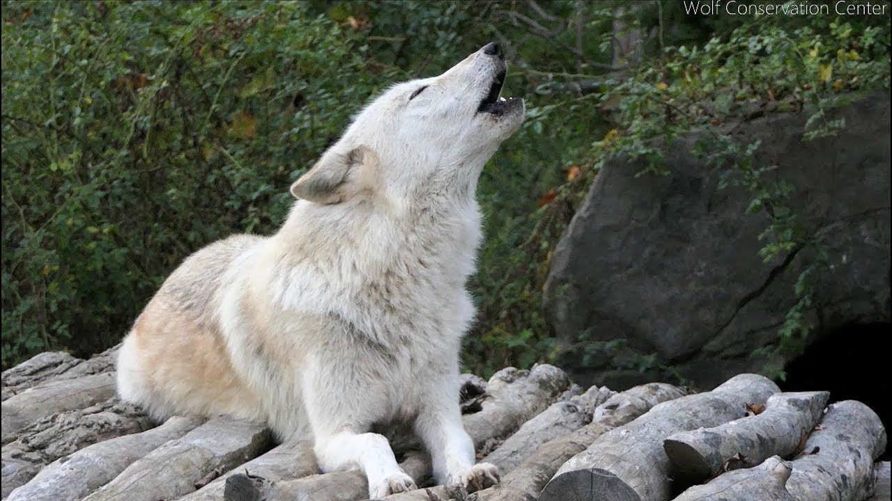 Twenty Five Wolves Howling Wolf Conservation Center Wolf Howling Wolf Best of pictures of gray wolves howling