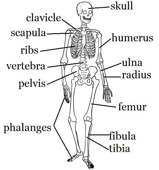 Skeleton Worksheet And Craft Skeletal System Activities Human Body Systems Skeletal System Worksheet
