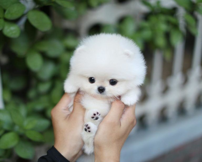 Facts On Teacup Dog Healthcare Pets Nurturing In 2020 Cute Teacup Puppies Cute Baby Dogs Teacup Puppies