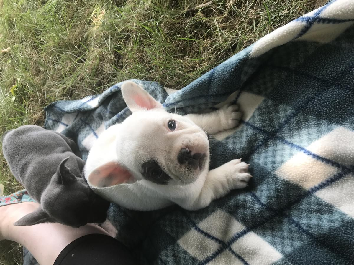 French Bulldog Puppies Health Tested Dam And Sire French