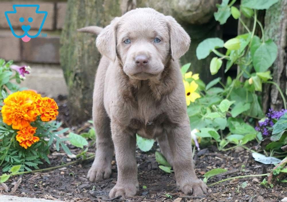 Ashley Labrador Retriever Silver Puppy For Sale Keystone Puppies Labrador Retriever Labrador Labrador Retriever Puppies