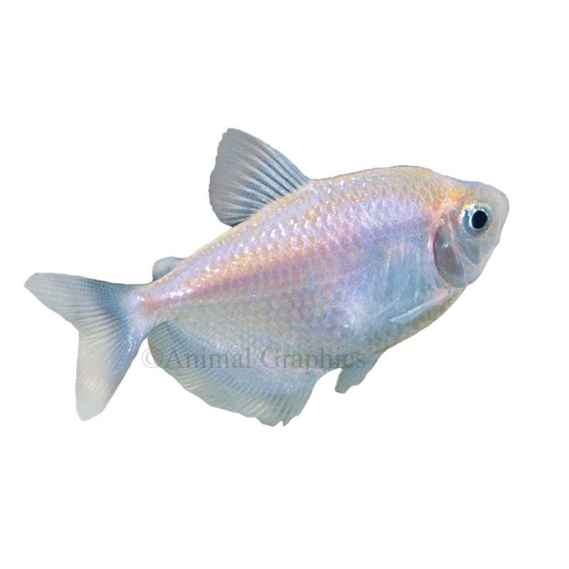 Skirt Tetra In 2020 Pet Fish Tetra Fish Fish For Sale
