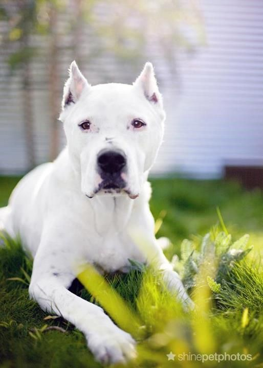 Sweet Caña, a Dogo Argentino  Rest in peace  By Shine Pet Photos