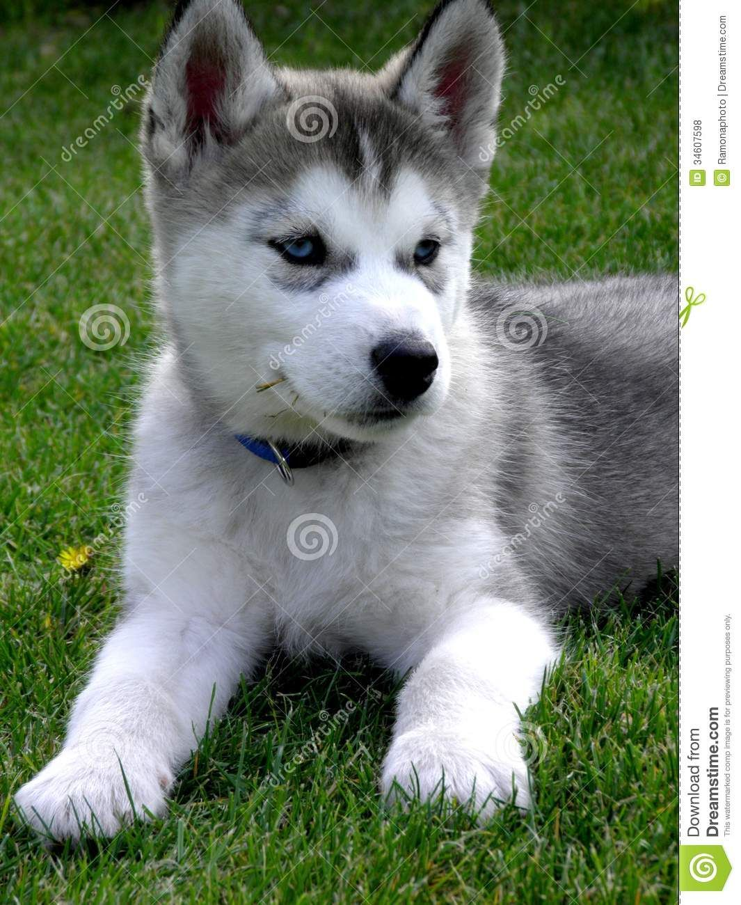 Simple Grey Blue Eye Adorable Dog - a1d0134cbf6a7406b4fc558ed5bf4587  Pic_93629  .jpg