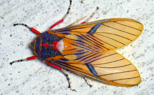 Tiger Moth, South America; recorded in Ecuador