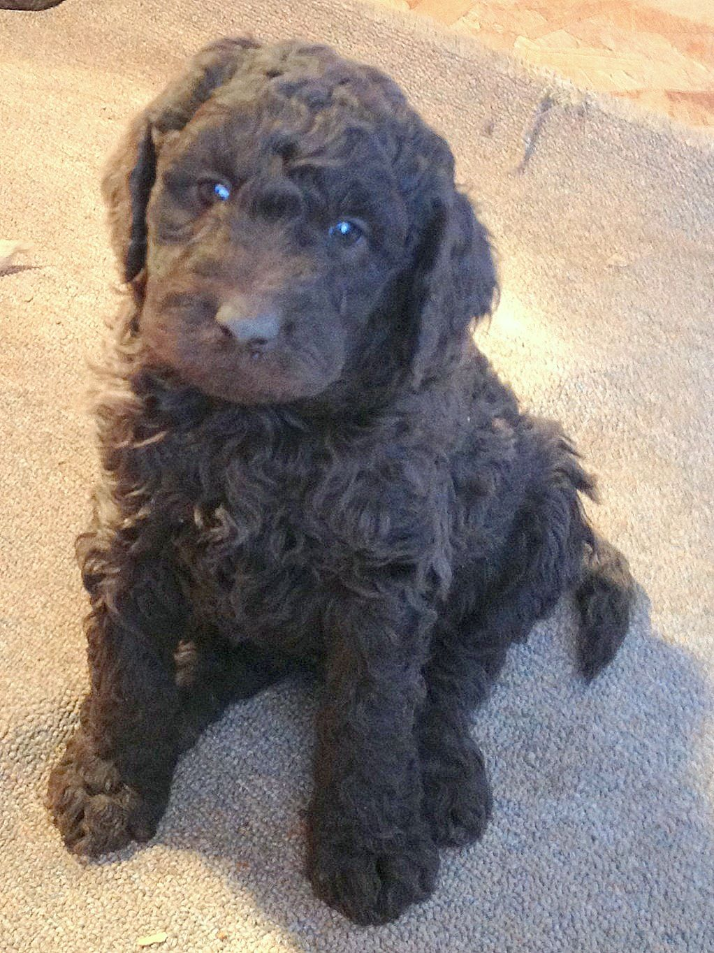 20 Newfoundland Doodle Dogs Pictures And Ideas On Weric