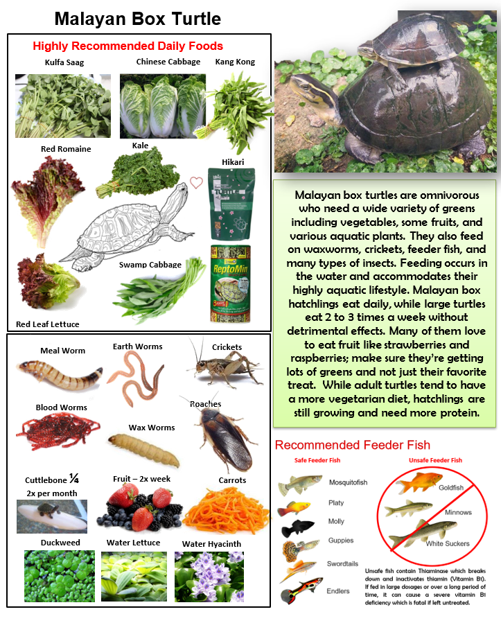 Malayan Box Turtle Food Poster Natural Pet Food Box Turtle Turtle Care