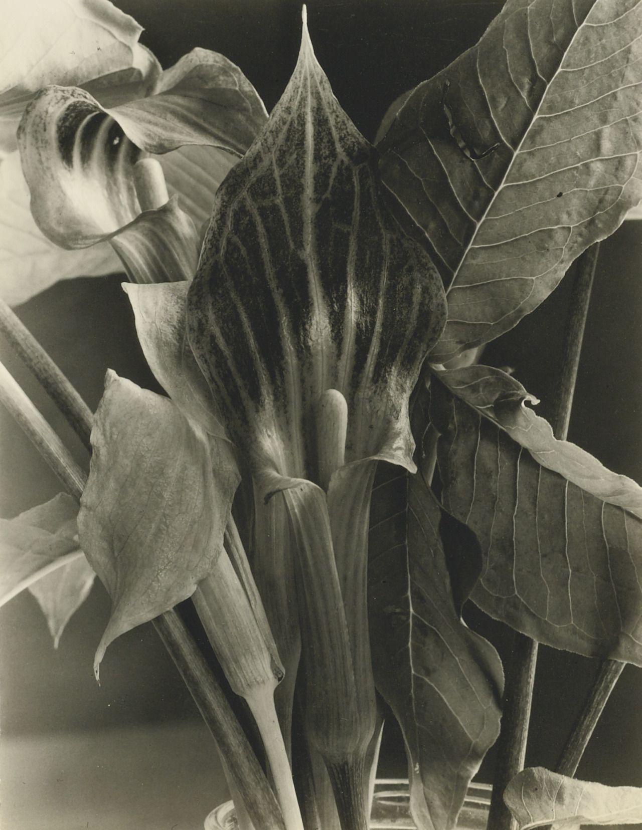 Imogen Cunningham - Jack-in-the-pulpit, 1934.
