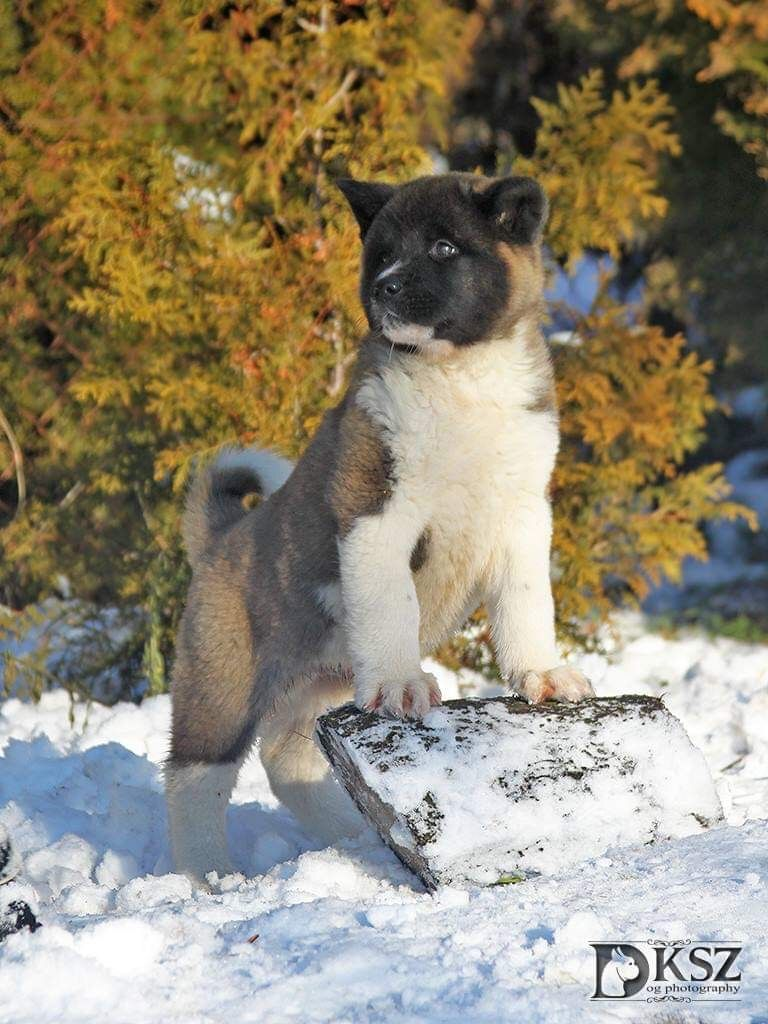 American Akita Puppy For Sale Akita Puppies For Sale Akita