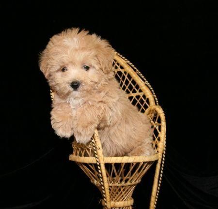 Oh My I Really Want This Little Puppy Maltipoo Puppy Maltipoo