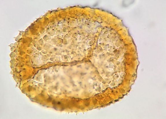 Microspore—a land plant spore that develops male organs during its sexual phase — from a Svalbard forest tree.