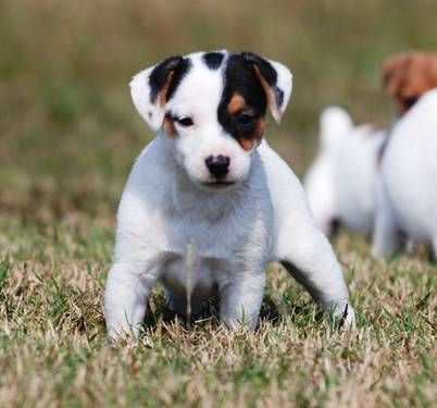Long Legged Jack Russell Puppies Jack Russell Jack Russell Puppies Jack Russell Dogs