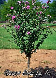 Lavender Rose Of Sharon Althea Tree Flowers Flowers Flowers Rose