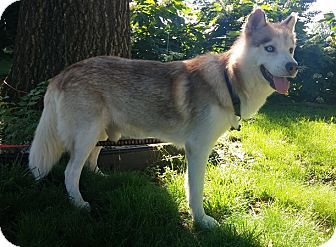 House Springs Mo Siberian Husky Meet Rusty A Dog For Adoption