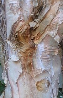 """Amazing tree from Australia.  Soft folds of """"paper"""", much thicker than birch bark"""