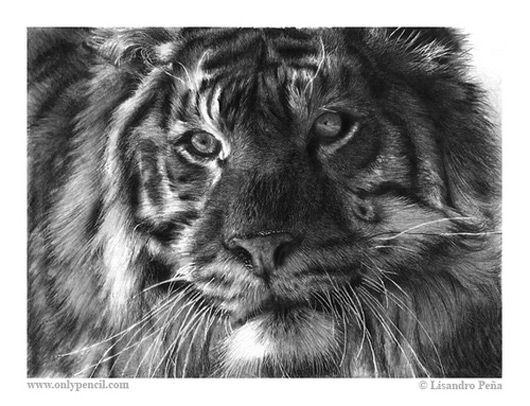 Tigre Sketch: Siberian Tiger Pencil Drawing