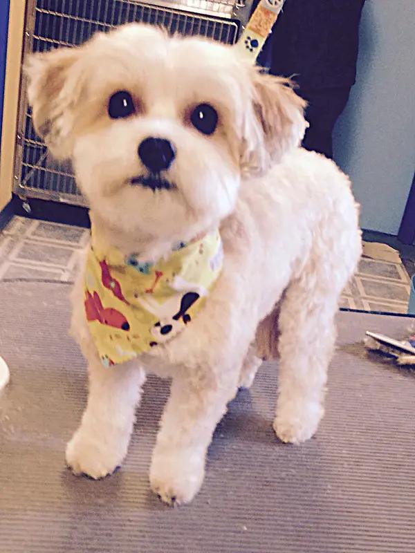 Love The Cute Grooming Job The Ears Look Like My Percy Maltese Dogs Dog Grooming Styles Dog Haircuts