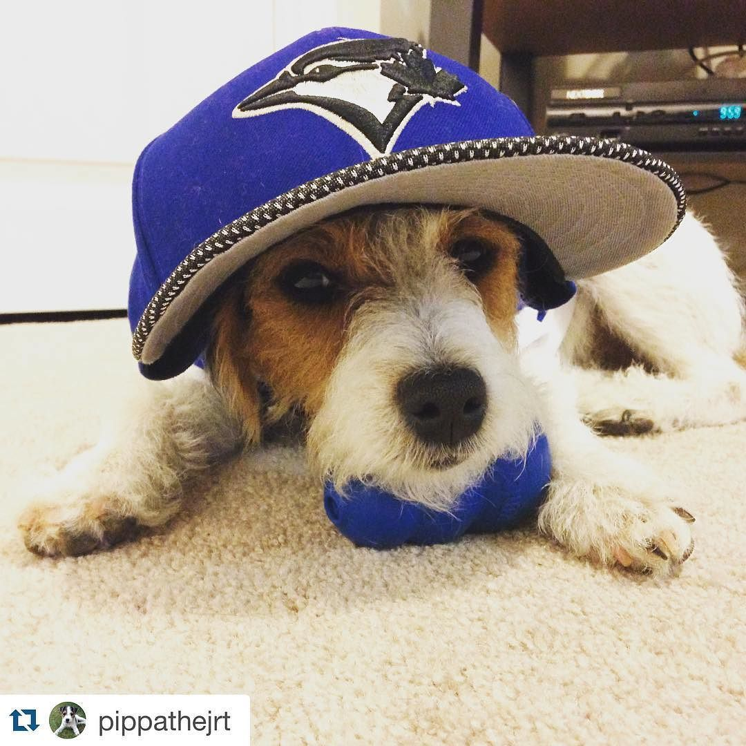 by @pippathejrt  Pippa says go jays go (as she falls asleep) #gojays #torontobluejays #ibleedblue #playball #baseball #alcs #jackrussellterrier #jrt #jackrussell #jrtnation #jrtlove #instagood #dogsofinstagtam #love #ilovemydog #puppy #sleepy #bedtime
