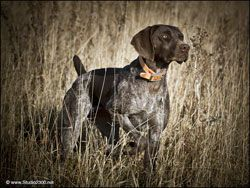 Hunting Dog Litters From Autumn Breeze Kennel Professional