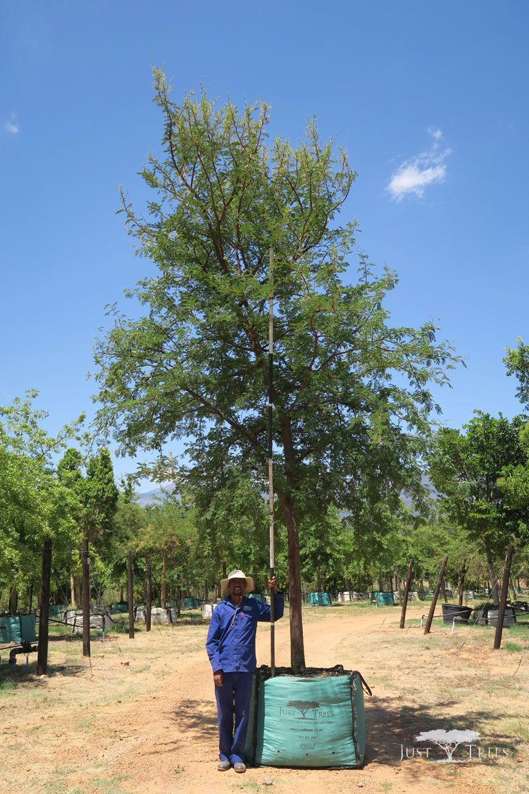 1000l Acacia Karroo Sweet Thorn Acacia Karroo Sweet Thorn