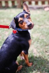 Rocky Is An Adoptable Feist Dog In Winston Salem Nc My Name Is