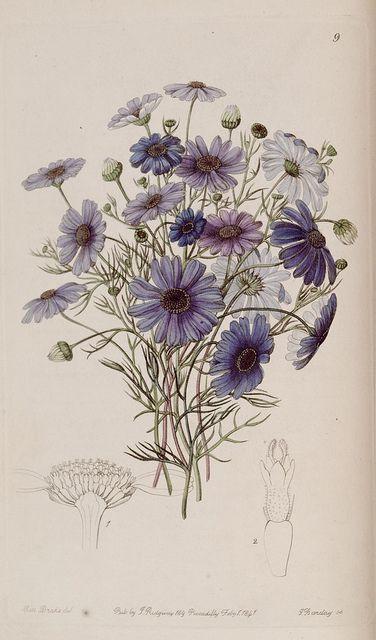 blaue Blüten gezeichnet