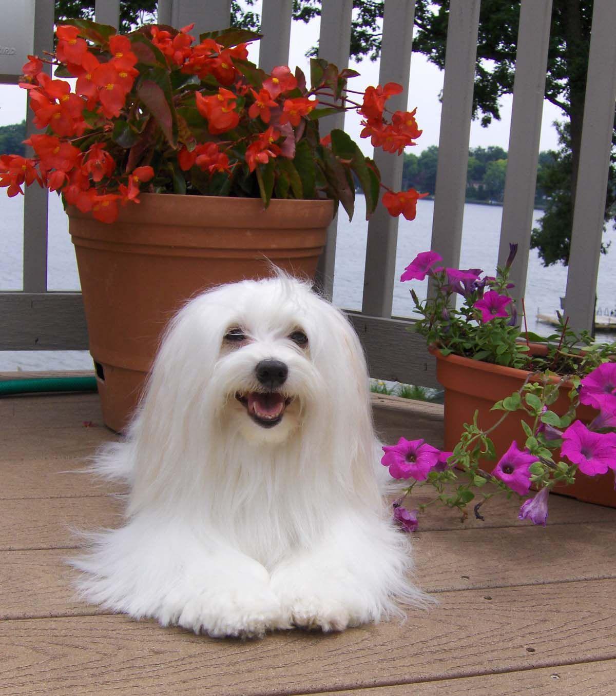 Dog bios havanese pinterest havanese dog and animal