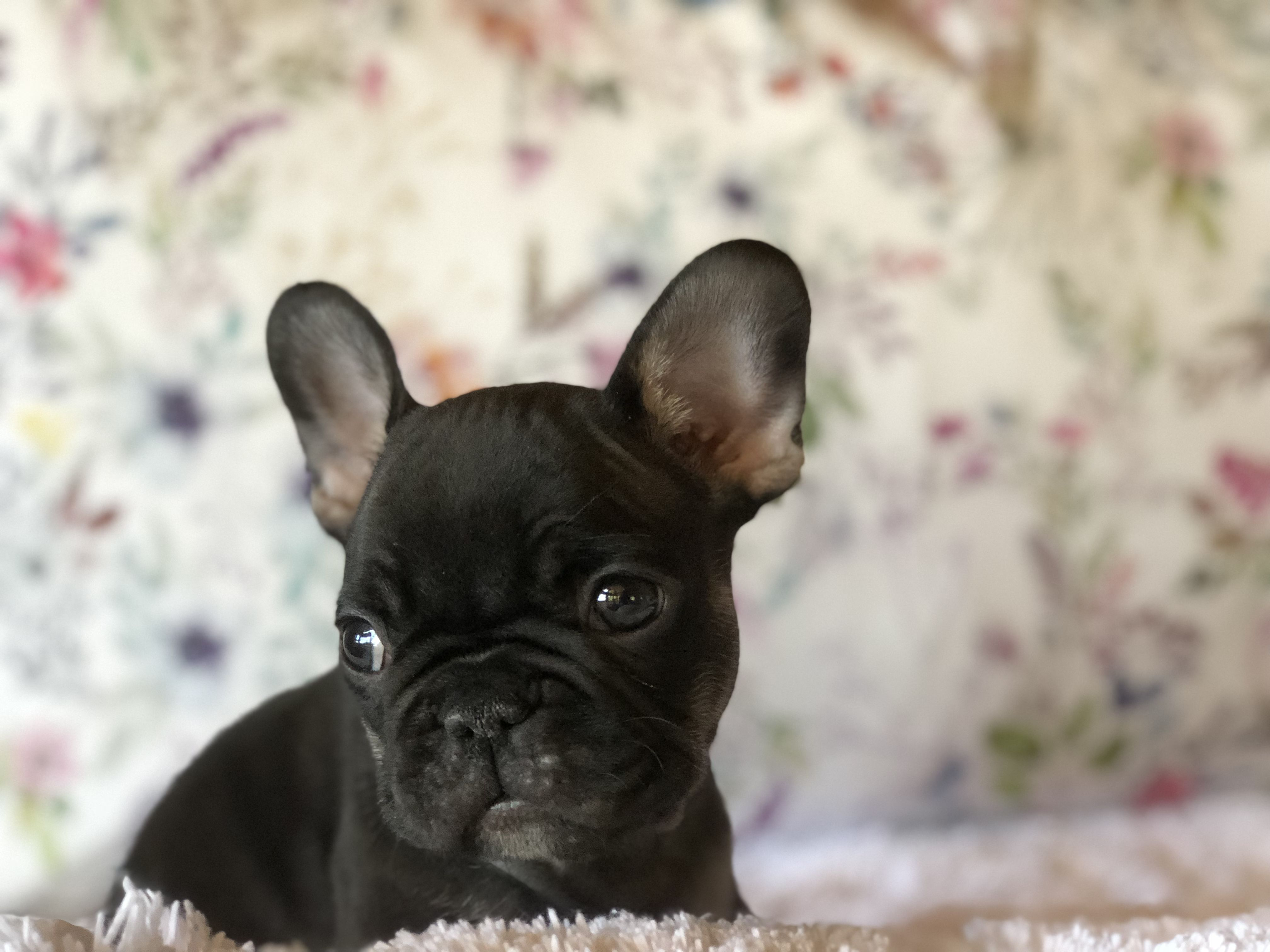 portrait of a French Bulldog puppy, black and tan