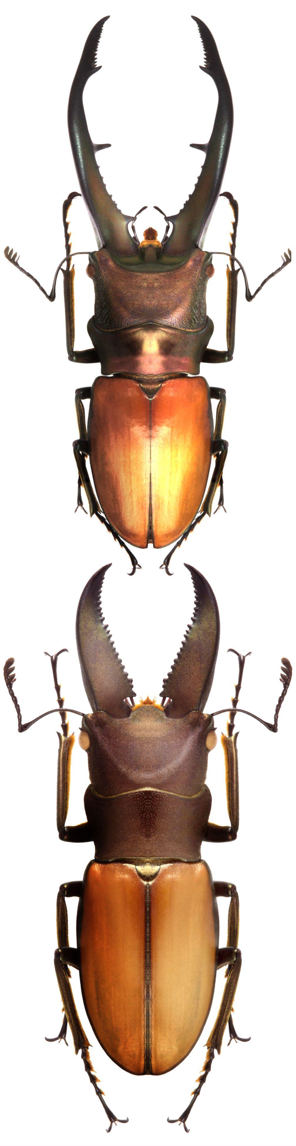 Cyclommatus montanellus