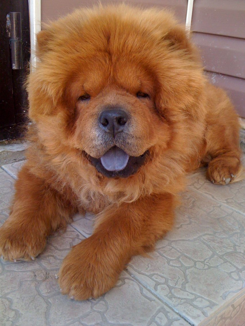 Pin By Tony Martire On Chow Chows Chow Chow Beautiful Dogs