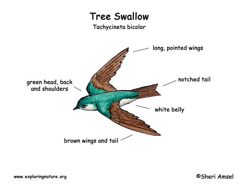 Duck Body Parts Diagram | Swallow (Tree) -- Exploring Nature ...