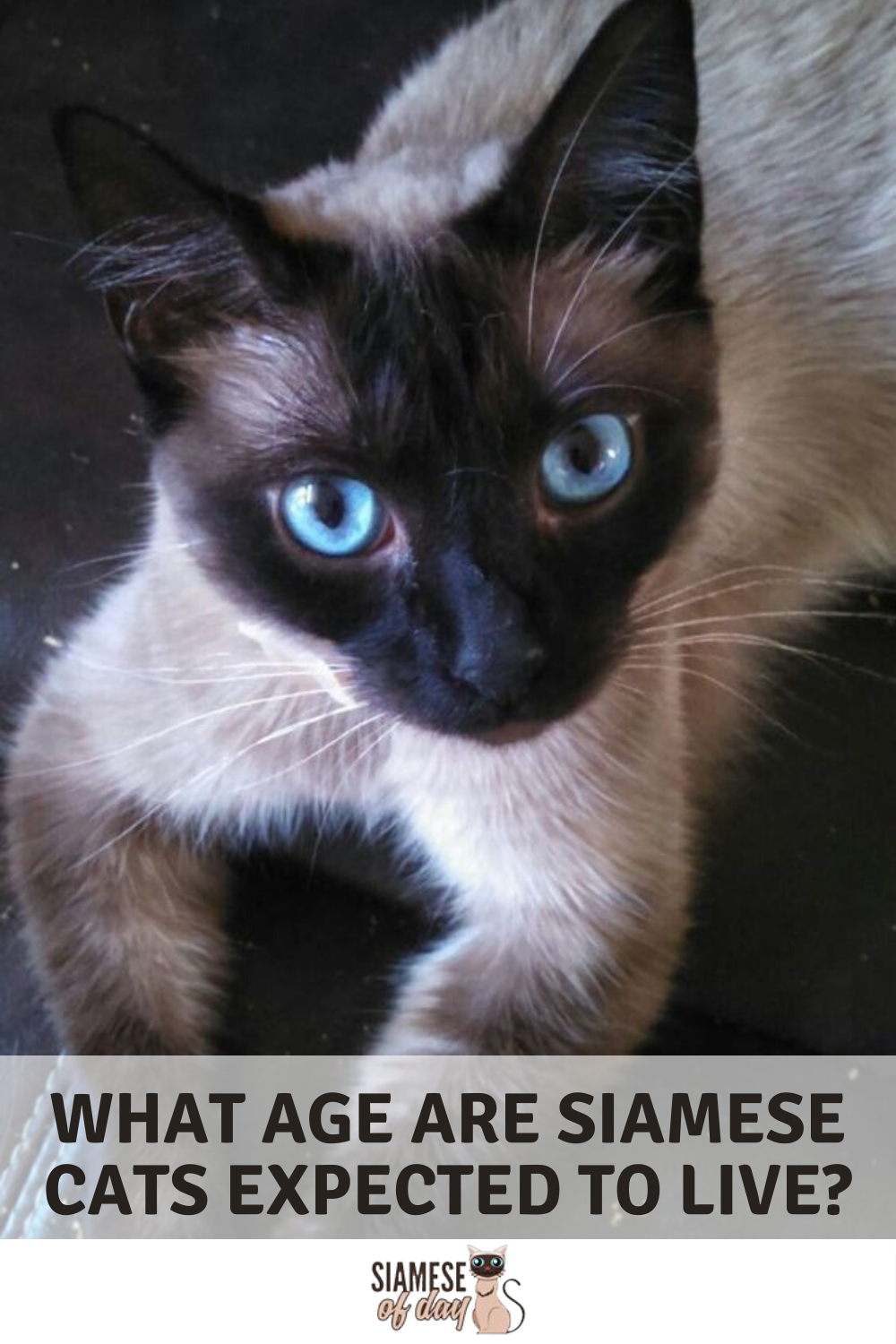 How Long Do Siamese Cats Live? How to Increase Their