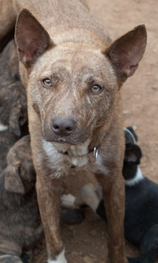 Ky Koolie Cross With Images Dog Waiting Cattle Dog Dogs