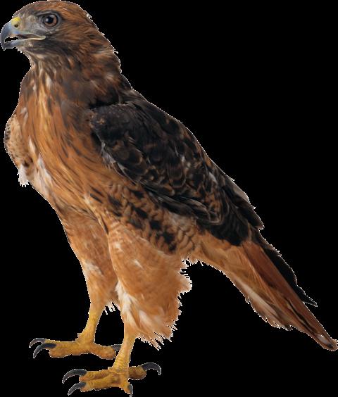Download Eagle Png Images Background Png Free Png Images Png Images Bird Pictures Png