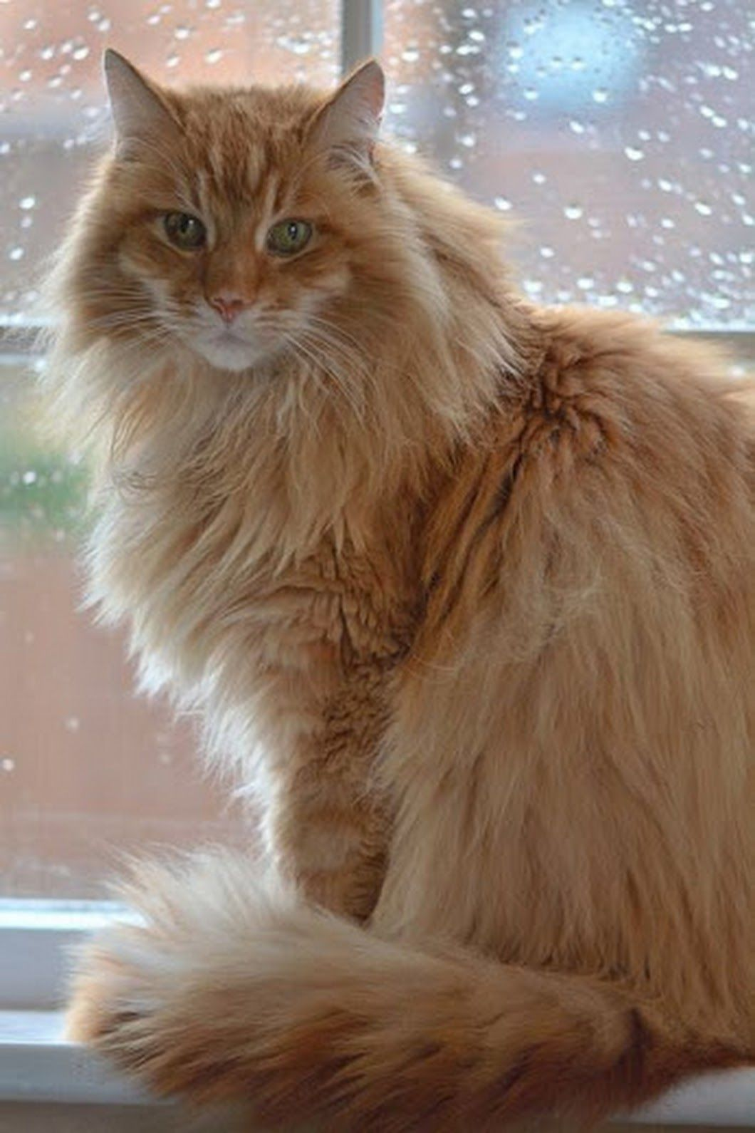 Pin On Cats Persian Maine Coon Norwegian Forest