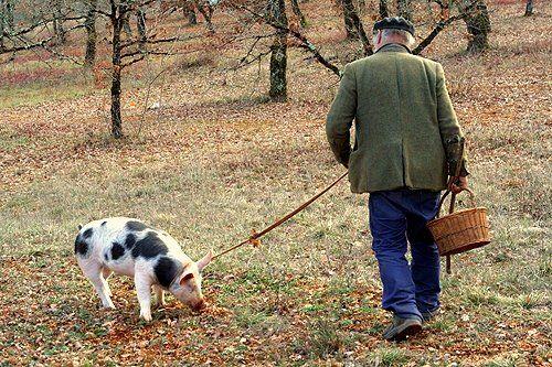 Truffle Hunting Truffle Hunting Truffles Black Truffle