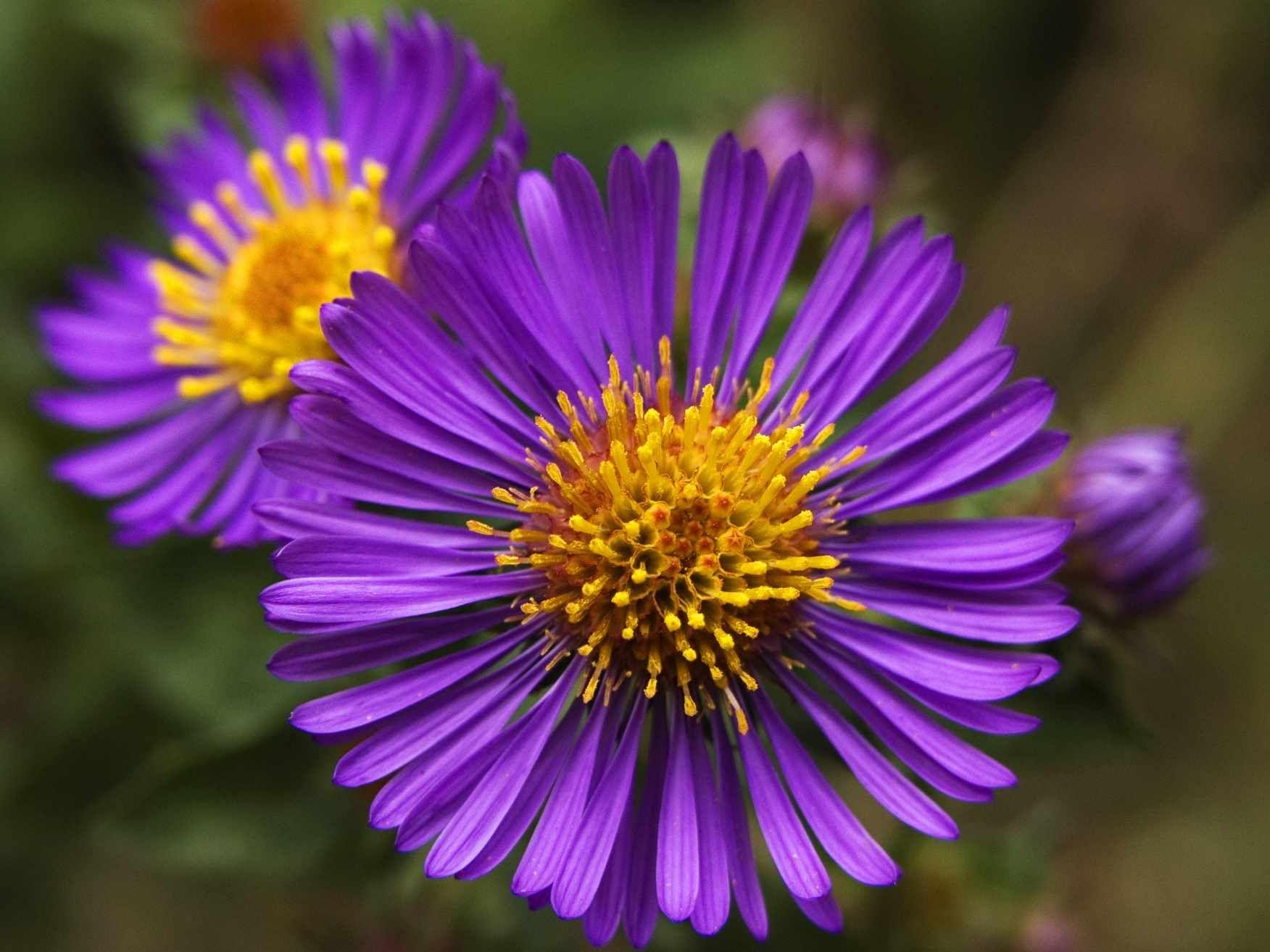 13 Types of Wildflowers for Summer Gardens Purple flower