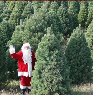 Find REAL Minnesota Grown Christmas trees from Iverson Tree Farms, LLC in  Belview, Minnesota in our free online Directory. - Find REAL Minnesota Grown Christmas Trees From Iverson Tree Farms
