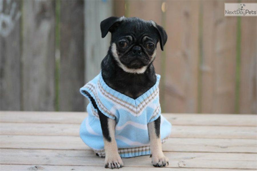 Charlie rare blacktan pug pug puppies for sale pugs