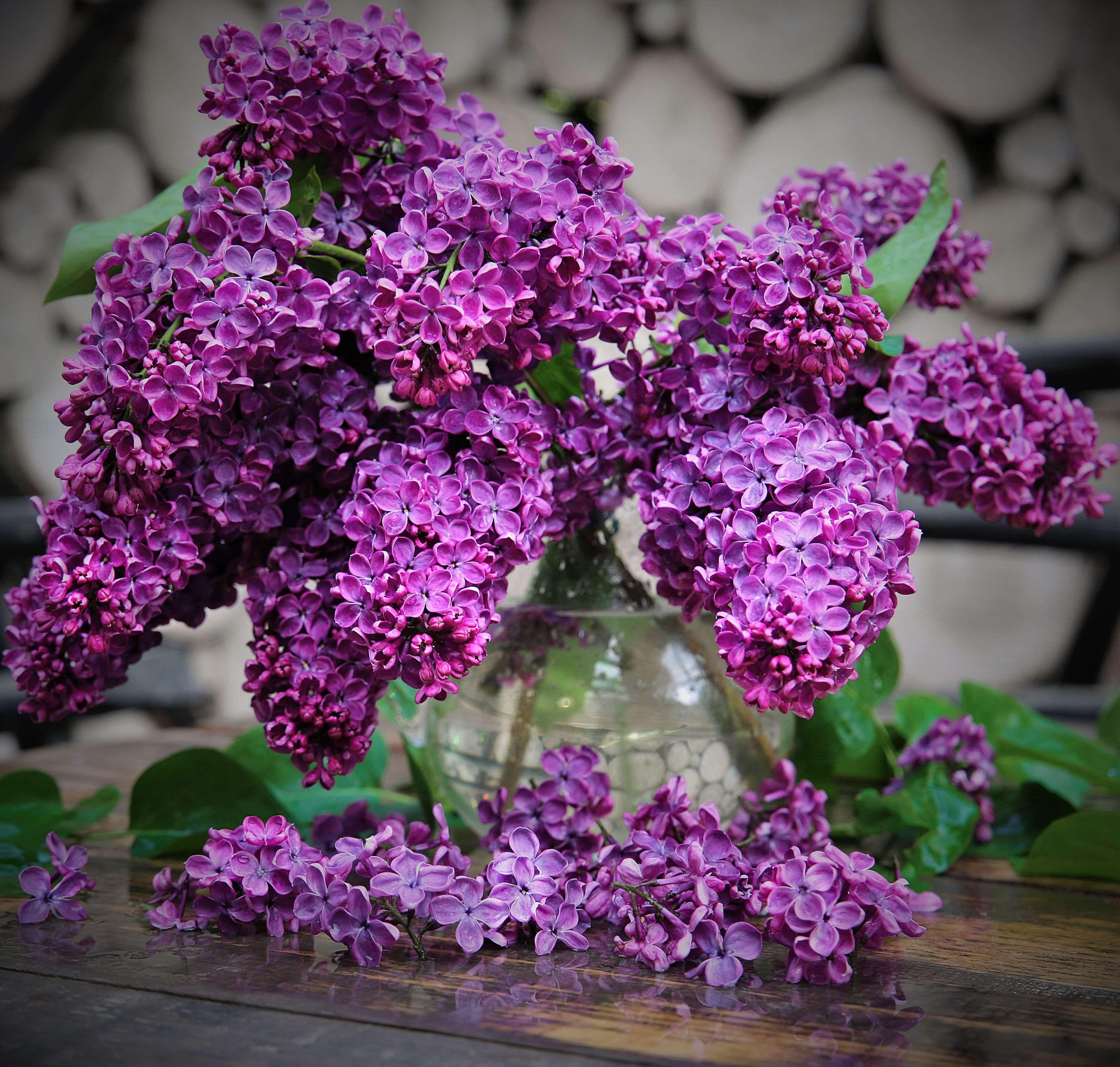 Bloom Botanica Branch Brush Close Closeup Dacha Flora Flower Flowers Garden Inflorescence Lilac Purple Flowers Garden Purple Flowers Lilac Flowers