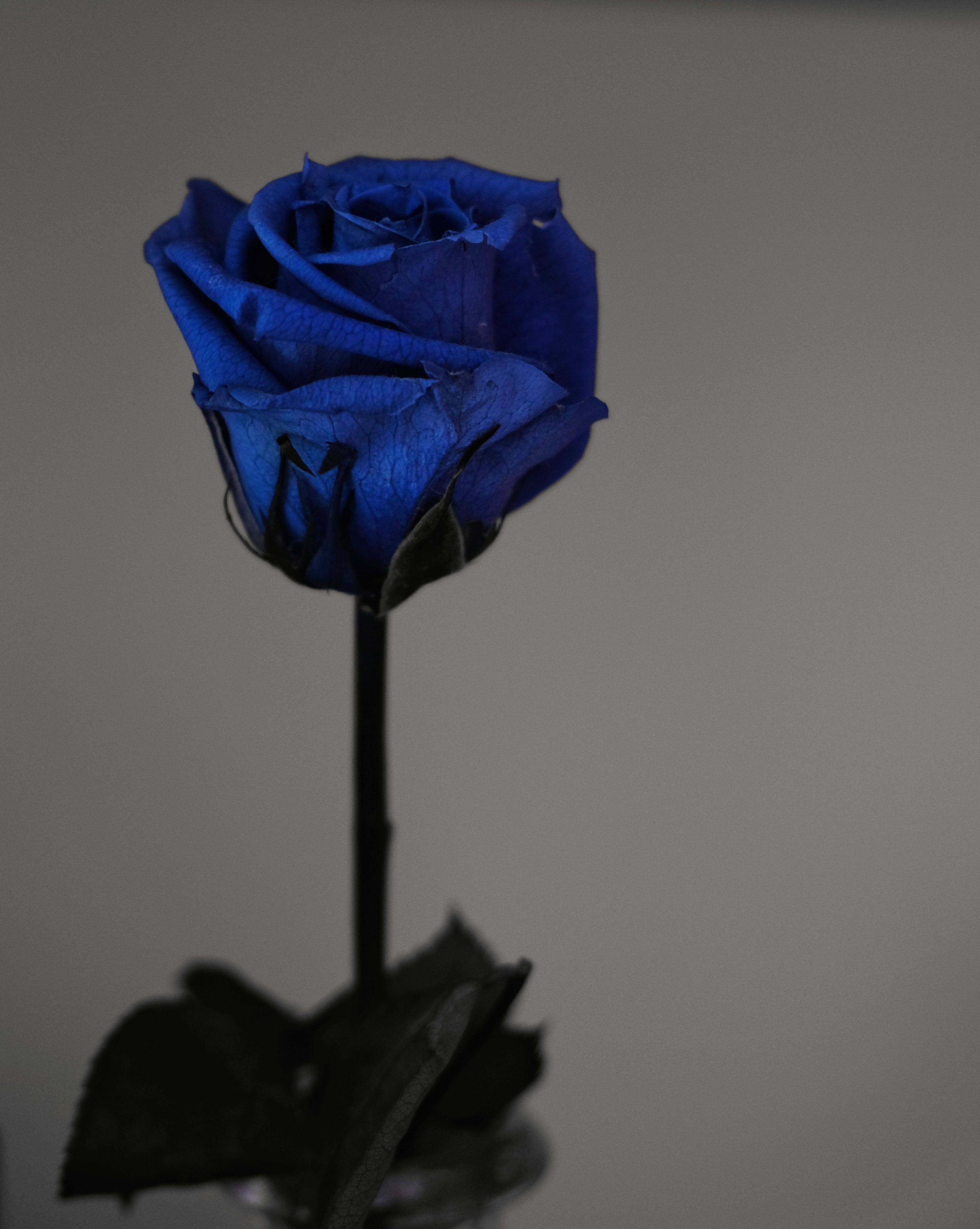 Image Result For Blue Rose Blue Roses Blue Rose Rare Roses