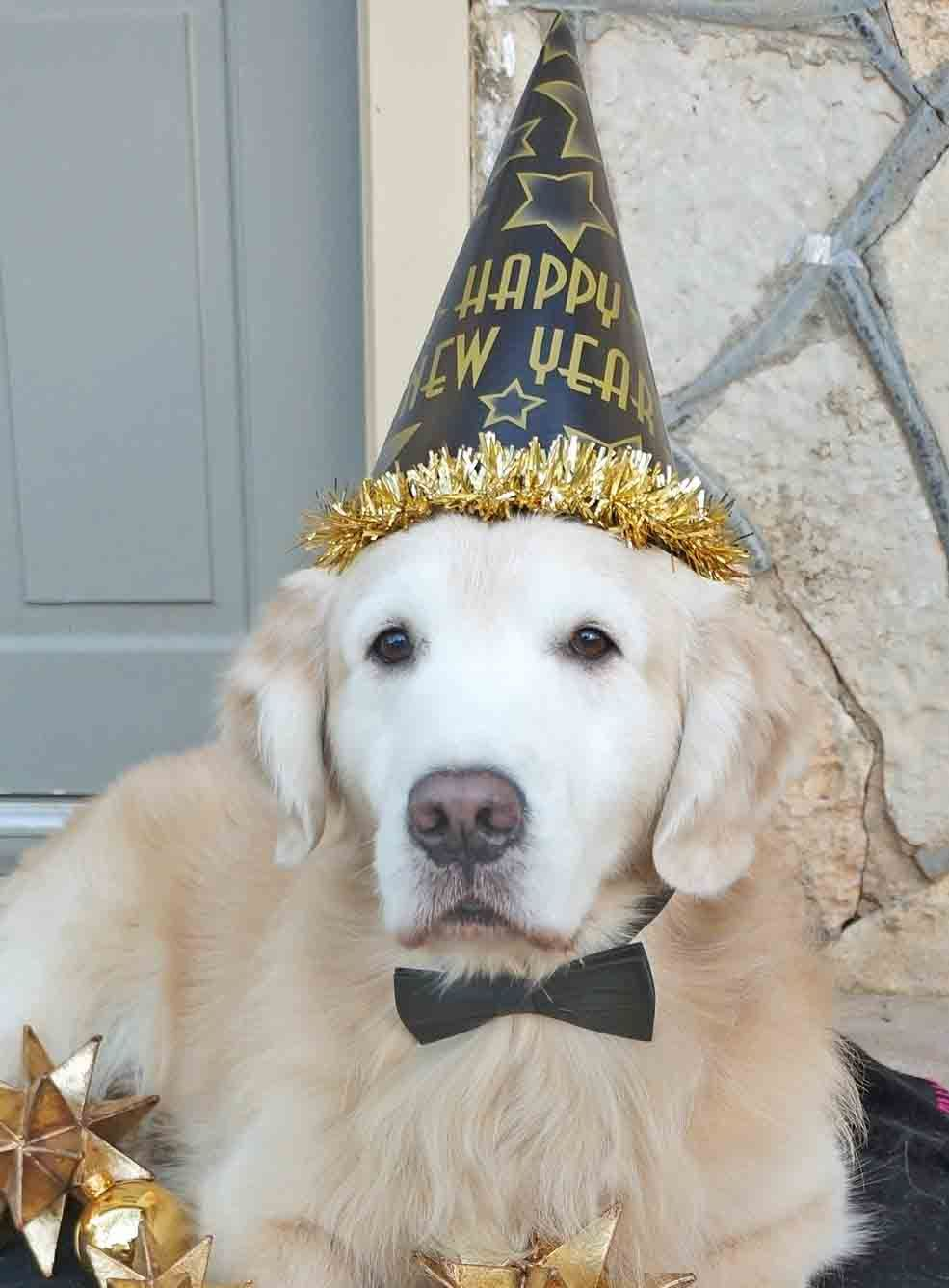 Jack Is Celebrating The New Year In Style Golden Retriever