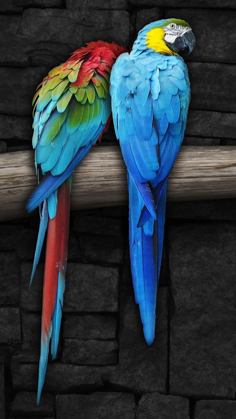 Tap And Get The Free App Animals Parrots Birds Couple Colorful Bright Cool Multicolored Hd Iphone 6 Wallpaper Parrot Wallpaper Parrot Pet Birds