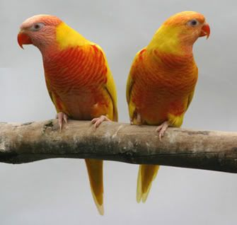 Color mutation | Rainbow Lories.