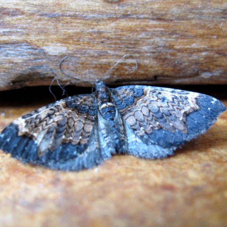 New Zealand Moth