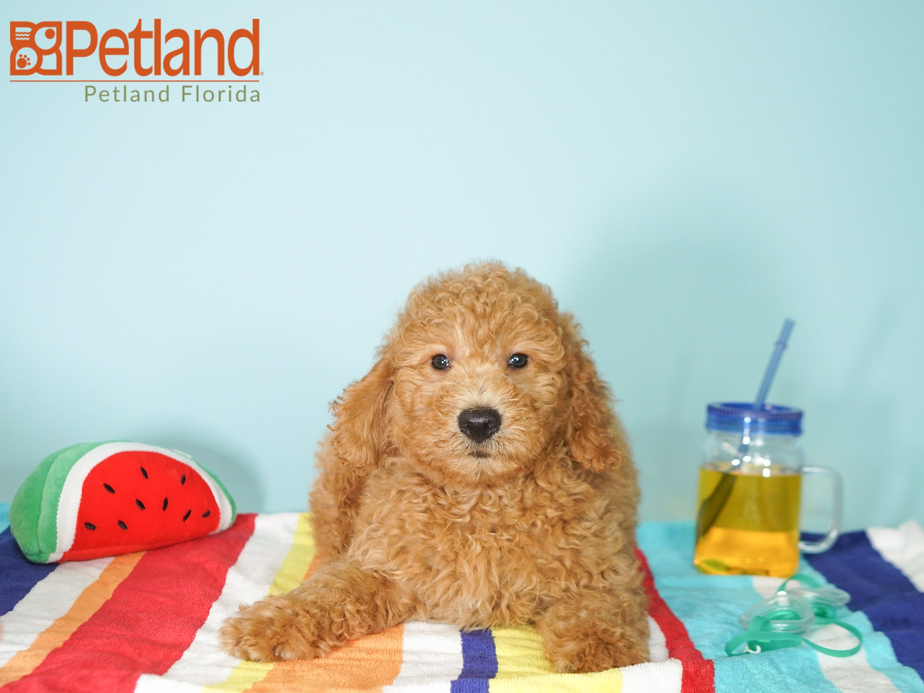 Puppies For Sale Goldendoodle Puppy For Sale Puppy Friends