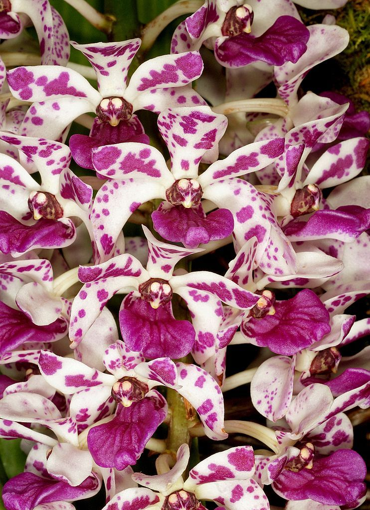 Rhynchostylis Orchids Species Care Plants For Sale Beautiful Orchids Orchids Looking After Orchids