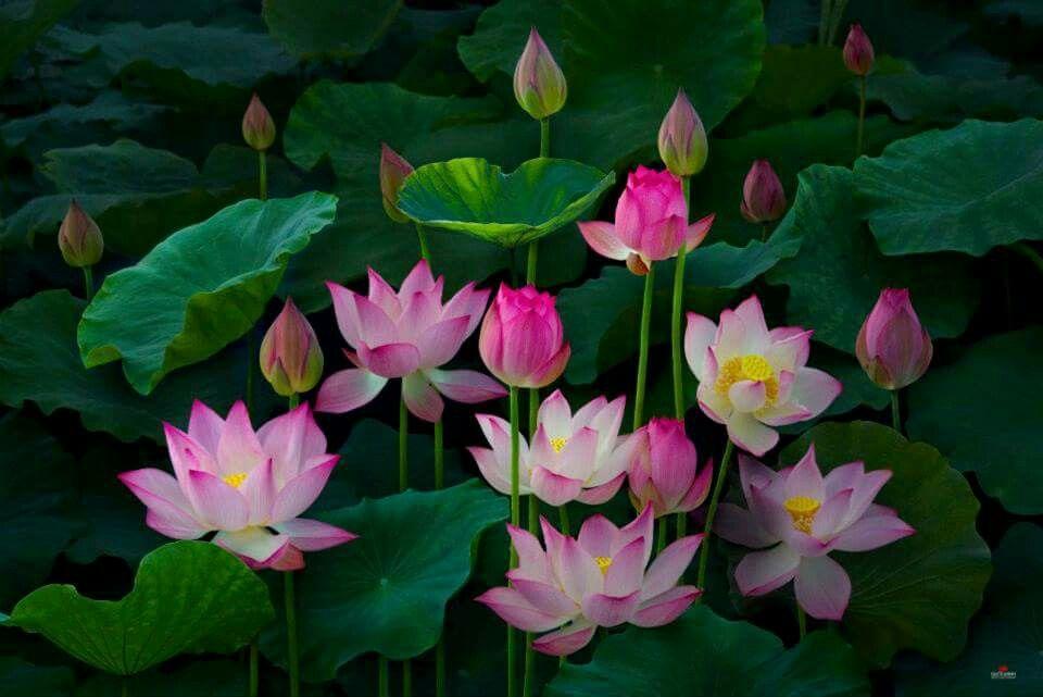 Pin Oleh Telma Silva Di Lotus Gambar Bunga Bunga Lukisan Bunga