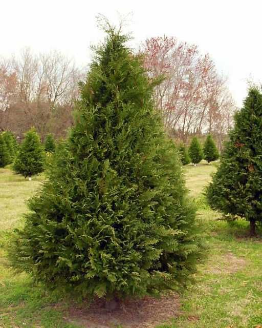 Southern Christmas Trees Leyland Cypress Southern Christmas Fast Growing Hedge