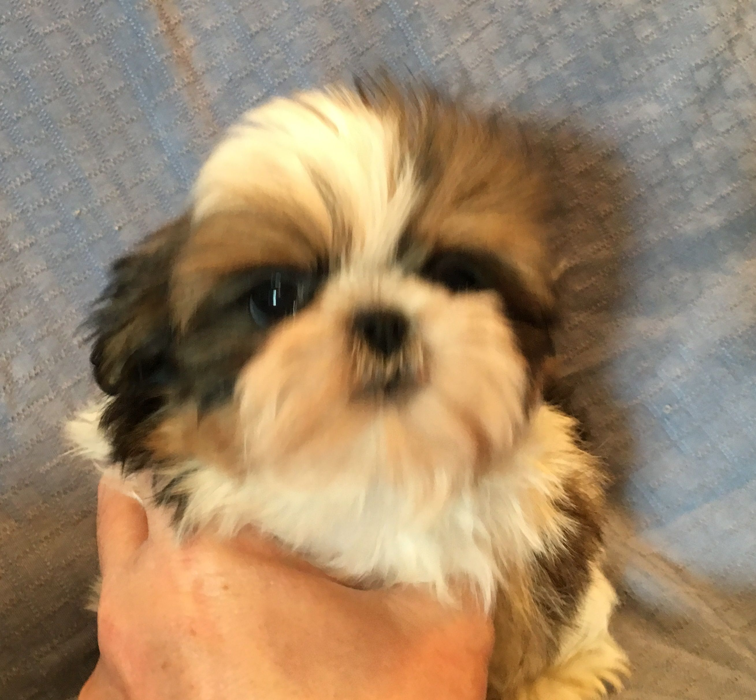 Available Fur Babies Fur Babies Shih Tzu Puppy Imperial Shih Tzu